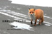 寻找北海道的野生红狐