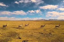 陪你去可可西里看藏羚羊
