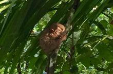 从巧克力山下来,不远,就是眼镜猴保护中心。进入园区,如果不是工作人员的指引,根本发现不了它们的踪影。