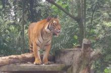 吉隆坡动物园老虎