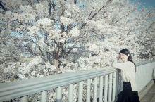 韓國旅行|4月·汝矣島的櫻花盛開了
