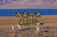 遇见藏原羚,还意外发现惊人致富之路