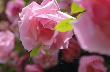 """这一朵朵蔷薇是我对你的思念  """"他会在冬日暖阳等风停  春风万里等雨季  也许会在某个际遇触动你的心"""
