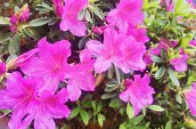 盛开的杜鹃花