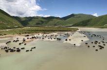百万牦牛过黄河,冲浪,洗大澡,……