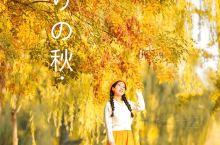 拒绝照骗!北京今秋最早的黄叶在这里!