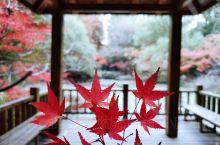 共青森林公园内5万余株郁郁葱葱的树木叶片渐渐褪去绿色,改用五彩缤纷的秋色装点大地,有金黄色的银杏、无