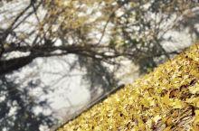 广东也可以看见很漂亮的银杏!千年银杏古村