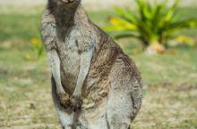 长得跟兔子似的,澳大利亚袋鼠 墨尔本·维多利亚