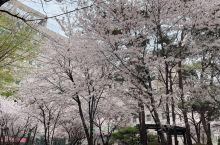 首尔又一赏樱花好去处,完全不输其他地方