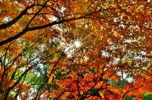 秋天处处充满了惊喜,水杉、红枫、银杏换上了斑斓的外衣——深秋天真的来了。漫步共青森林公园青枫红枫、雪