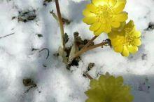 冰凌花点缀着北方的早春