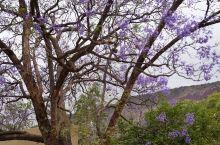 thabazimbi的蓝花楹