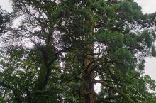 庐山打卡第二天下午:三宝树、黄龙潭、乌龙潭。三宝树之一银杏树据说有1600岁啦!呵呵估计成仙啦!乌龙