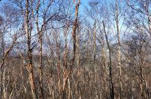 美丽的红桦林