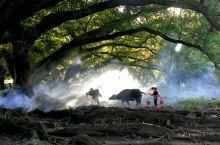 杨家溪的老牛和放牛的老汉。