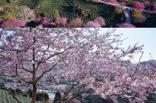 中国最美樱花茶园|和国家地理杂走一圈