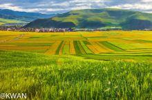 祁连山下的门源,是一年里最晚盛开的油菜花