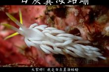 白灰翼海蛞蝓