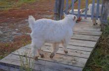 新疆喀纳斯禾木的小羊羔学习走独木桥