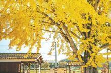 日本关西旅游赏枫地推荐北条铁道大银杏