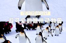 旭川动物园企鹅雪地散步-超萌