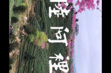 永福台品樱花茶园