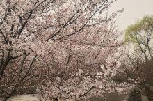 邹平樱花山,樱花开的正是时候