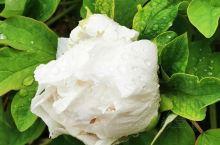 云龙公园的牡丹花