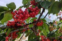 红艳艳的果实