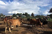 2020年1月下旬 从达累斯萨拉姆大卡车旅行团 到坦桑尼亚北部的阿鲁沙 在郊外营地住宿 当地马赛人牛