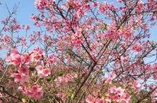 遍地都是樱花盛开的季节!