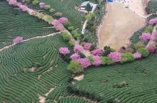 福建漳平樱花盛开,这样的春季你值得拥有