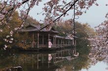 烟雨江南中的樱花盛放
