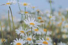 超美的雏菊花海拍照美翻了!