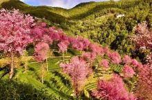 美极了,景迈山柏联酒店正值樱花烂漫季