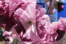 达蓬山顶的樱花