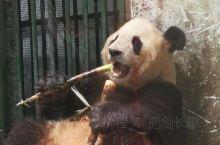 大熊猫一直在吃吃吃……