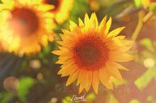 向日葵的天地