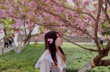 青龙寺樱花开了,等到樱落之前去看一次吧