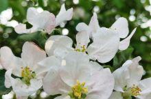 苹果树开花了