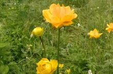 驼梁风景区。  驼梁 驼梁驼峰周边,大片的金莲花正在盛开,很多人气喘吁吁地爬上驼峰,争先恐后地在驼峰