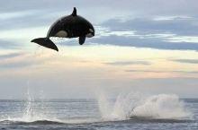 跃出海面的逆戟鲸
