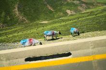 大草原羊群