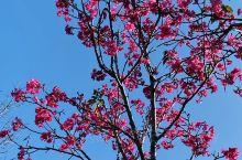 春天来了 樱花开了