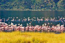 肯尼亚的纳库鲁湖,生活着成千上万的火烈鸟。远远的在湖边望去、红压压地一片,全是火烈鸟的身影。和黄色的
