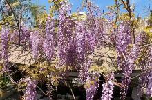 古藤园,紫藤花盛开