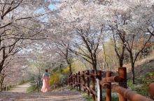仁川樱花季