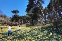 就是现在,韩国漫山遍野的水仙花!
