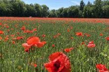 瑞士夏天随处可见的红花